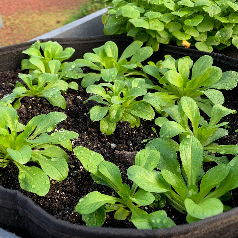 veldsla-zaden-kopen-2.jpg