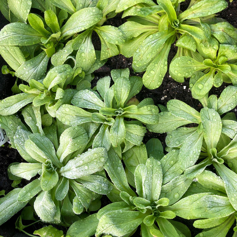 veldsla-zaden-kopen-1.jpg
