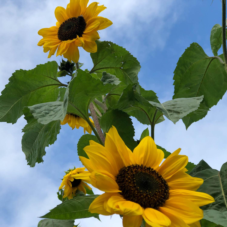 zonnebloem-zaden-kopen-1.jpg