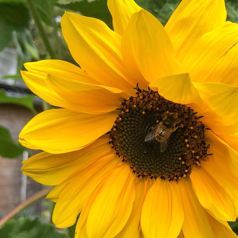 zonnebloem-zaden-kopen-2.jpg