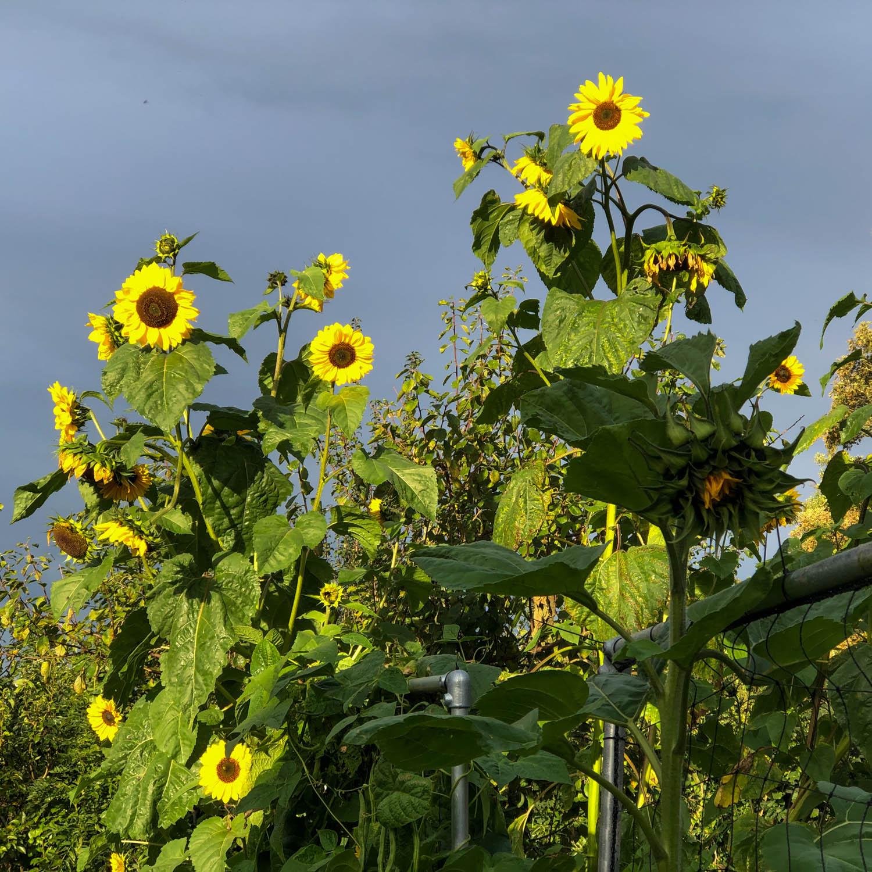 zonnebloem-zaden-kopen-3.jpg