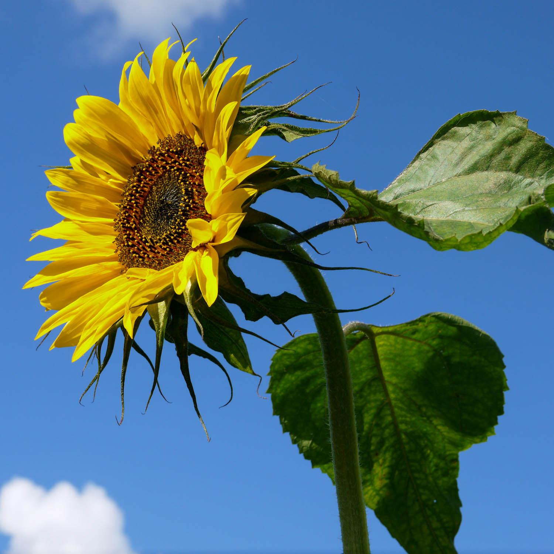 zonnebloem-zaden-kopen-5.jpg