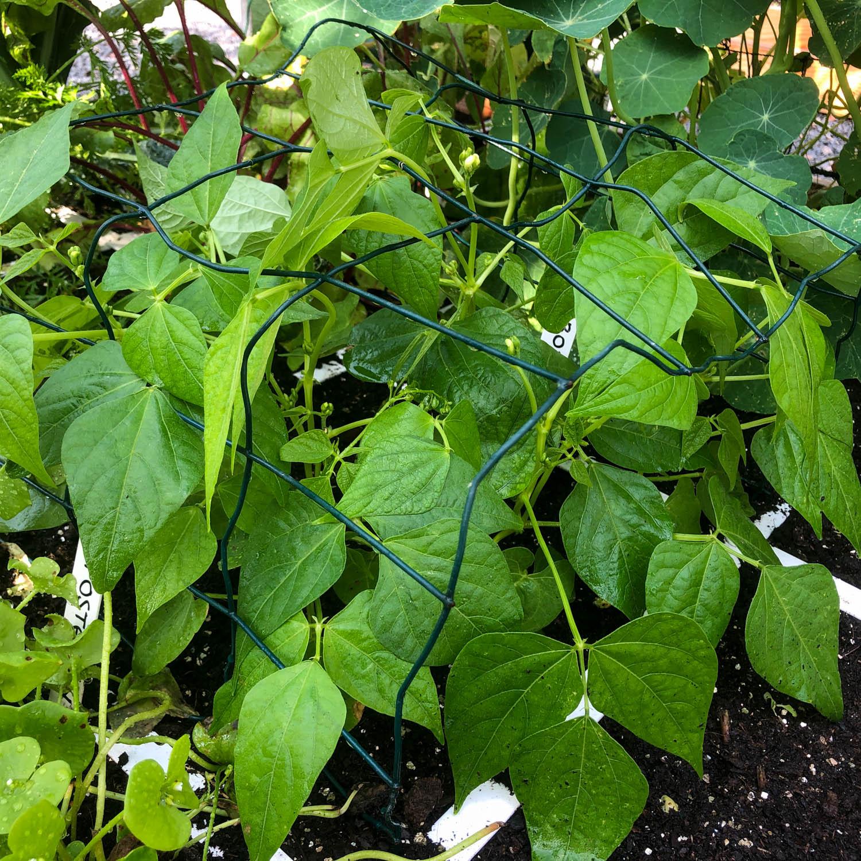 stambonen-zaden-kopen-1.jpg