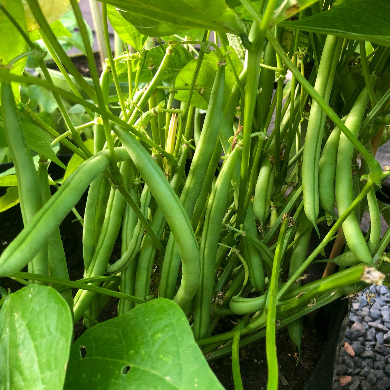 stambonen-zaden-kopen-2.jpg