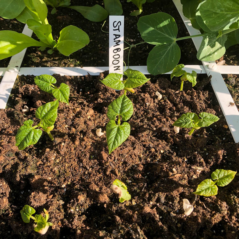 stambonen-zaden-kopen-5.jpg