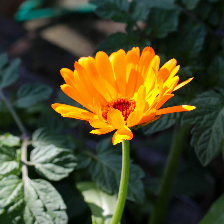 goudsbloem-zaden-kopen-2.jpg