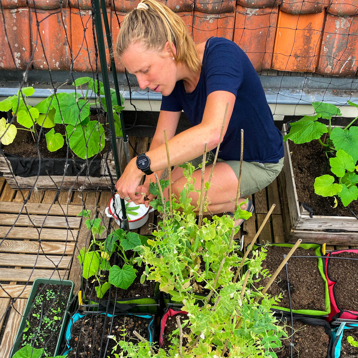 Erwtjes oogsten van de dakmoestuin