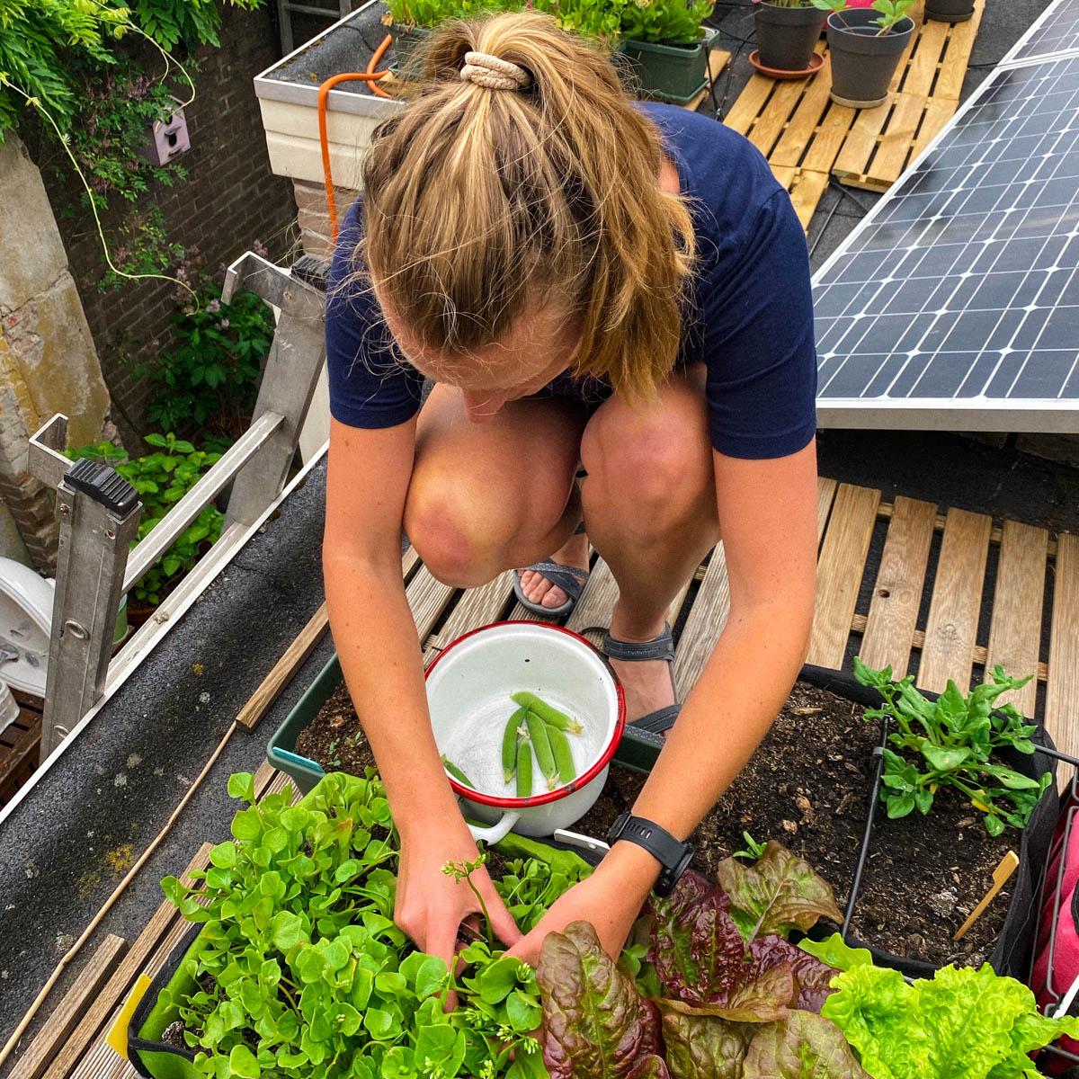 Winterpostelein oogsten uit de Makkelijke Moestuin op het dak