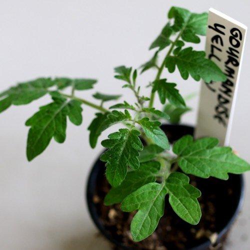 Tomatenplantje opkweken voor de Makkelijke Moestuin mini