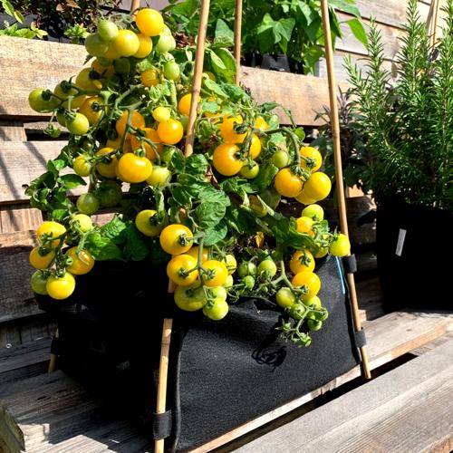 Het struikje blijft klein maar hangt stikvol tomaatjes