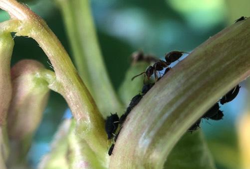 Zwarte luizen en een mier op een tuinboonplant