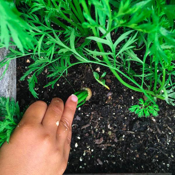 Thijs oogst wortels uit de Makkelijke Moestuin