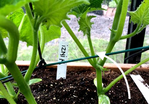 Knip de zijscheuten bij komkommers terug tot op 15 cm
