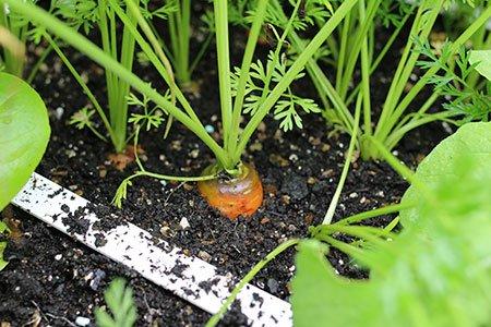 Sommige wortels zijn al goot genoeg om te oogsten