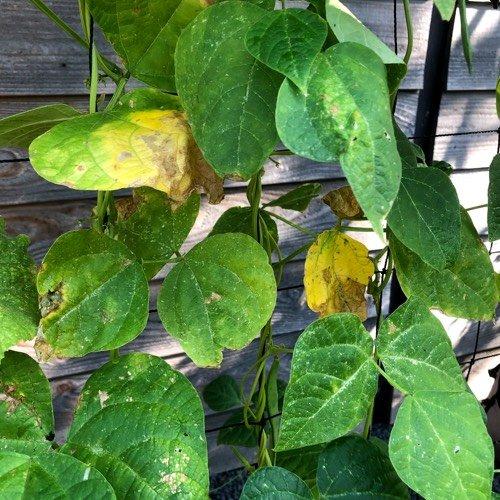 Geel blad bij de stokbonen