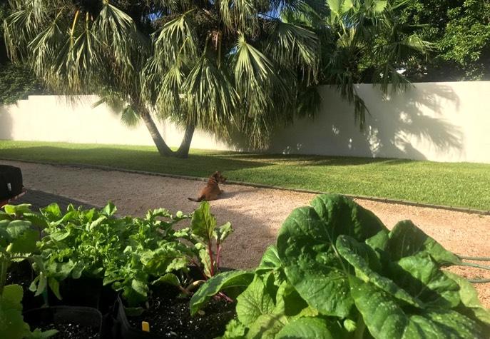 Makkelijke Moestuin groentes op Curaçao