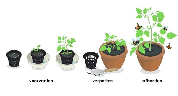 Hulp bij het verzorgen van de je tomatenplant van zaadje tot oogst: de Makkelijke Moestuin app