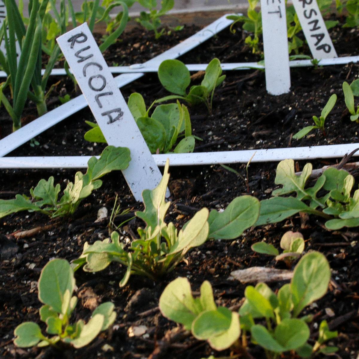 Kleine rucola plantjes in de Makkelijke Moestuin