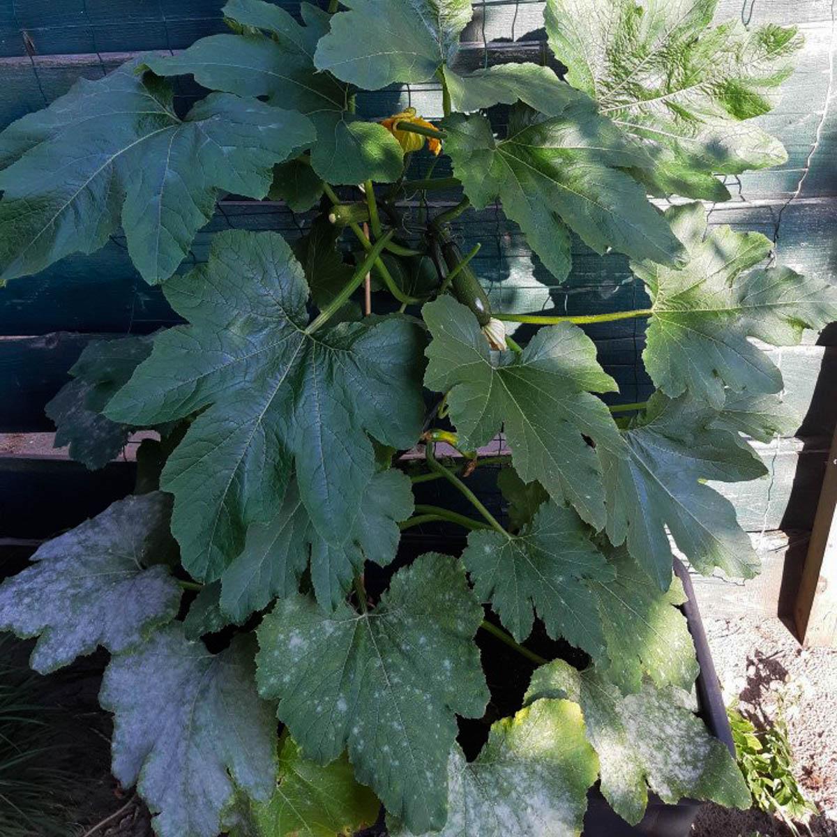 Knip door meeldauw aangetast blad weg en spuit de plant in met een mengsel van 40% melk en 60% water.