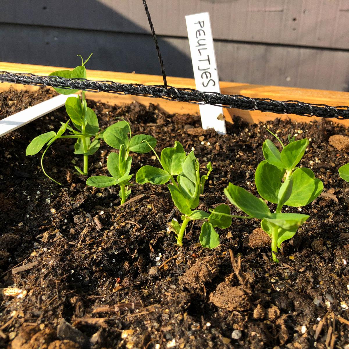 Kleine plantjes van peultjes in de Makkelijke Moestuin