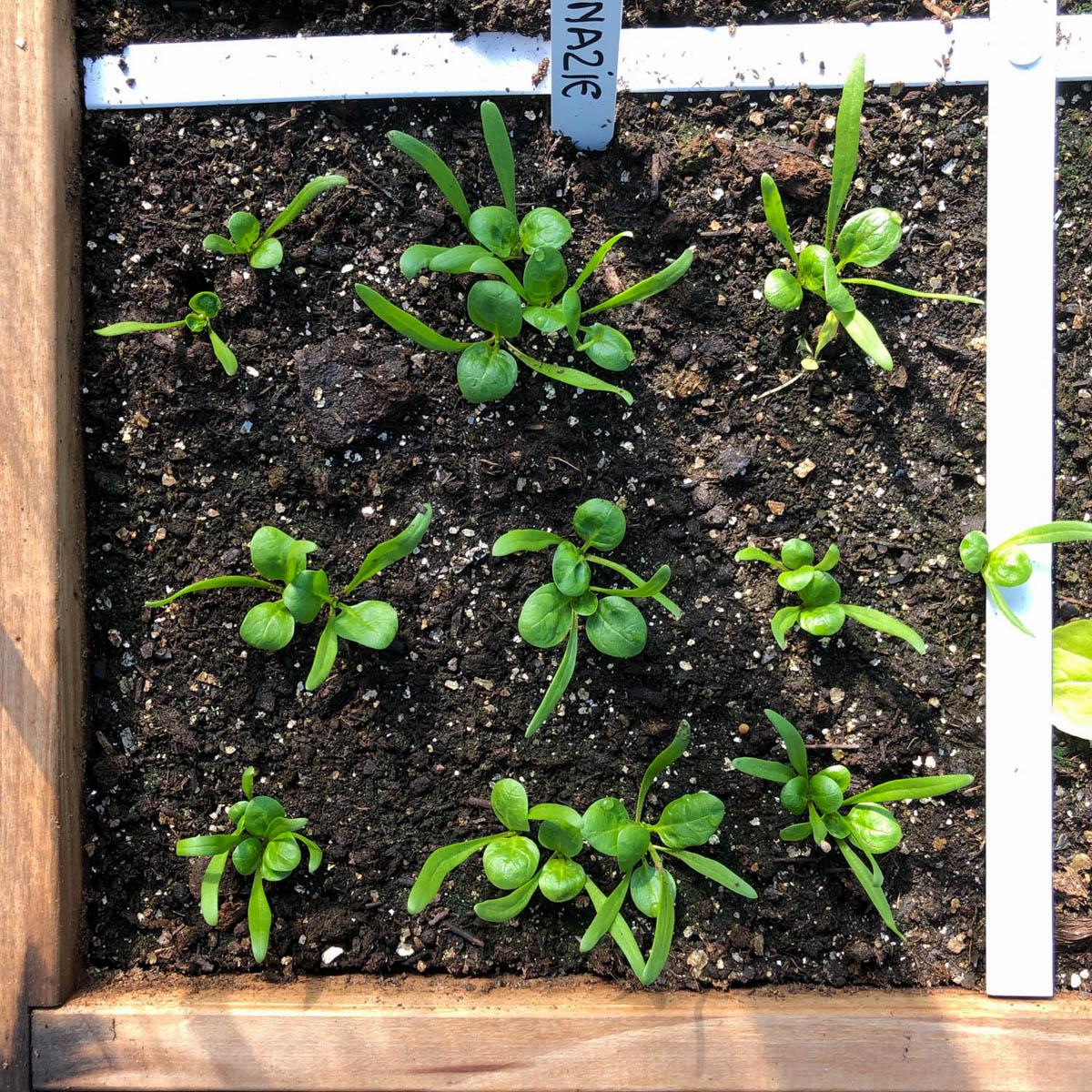 Kleine spinazie plantjes in de Makkelijke Moestuin