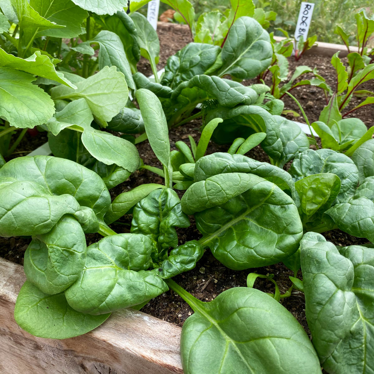 Opgroeiende spinazie planten in de Makkelijke Moestuin