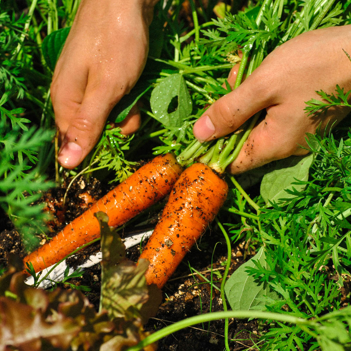 Wortels en wortelloof zijn super gezond