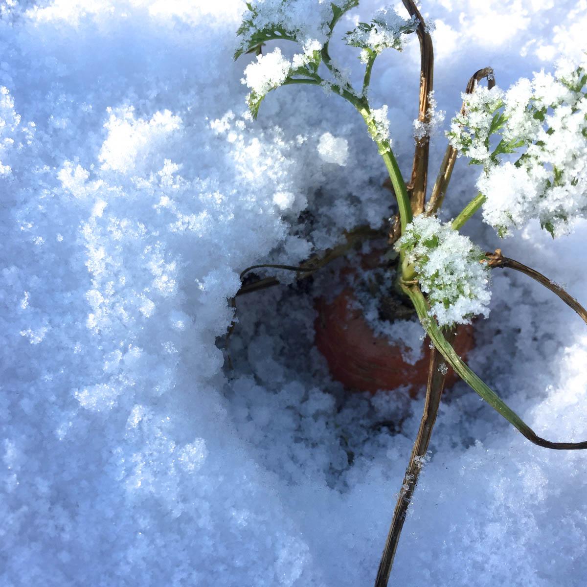 Wortels in de sneeuw in de Makkelijke Moestuin