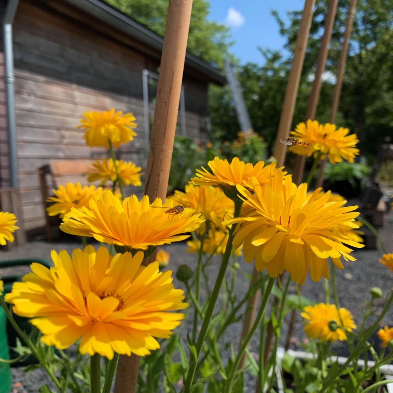 Bloeiende goudsbloemen trekken nuttige insecten aan