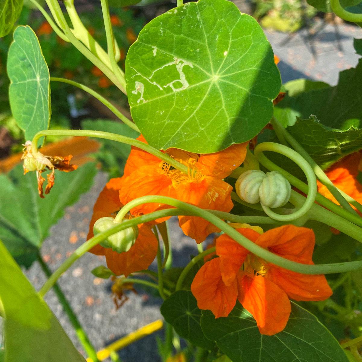 Bloemen en zaden van Oost-Indische kers