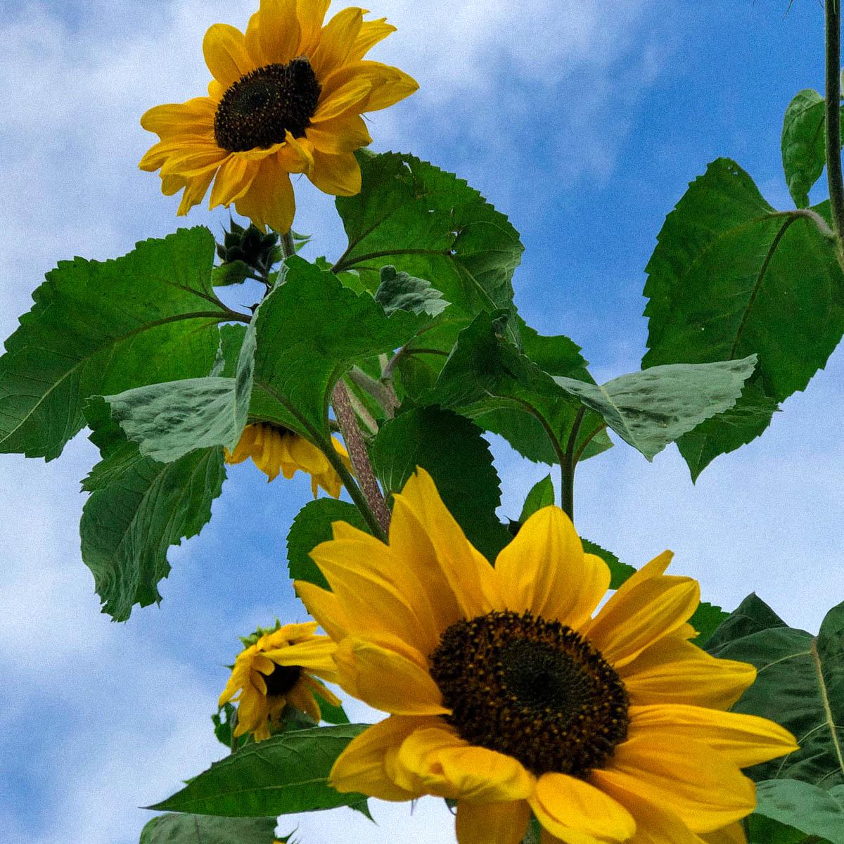 Zonnebloemen in de Makkelijke Moestuin