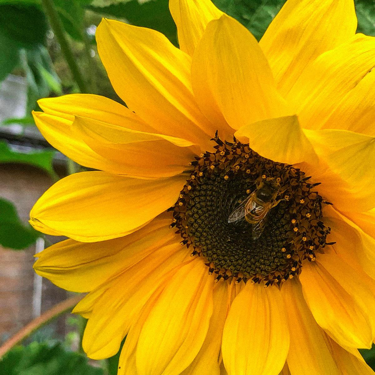 Bijen zijn gek op zonnebloemen