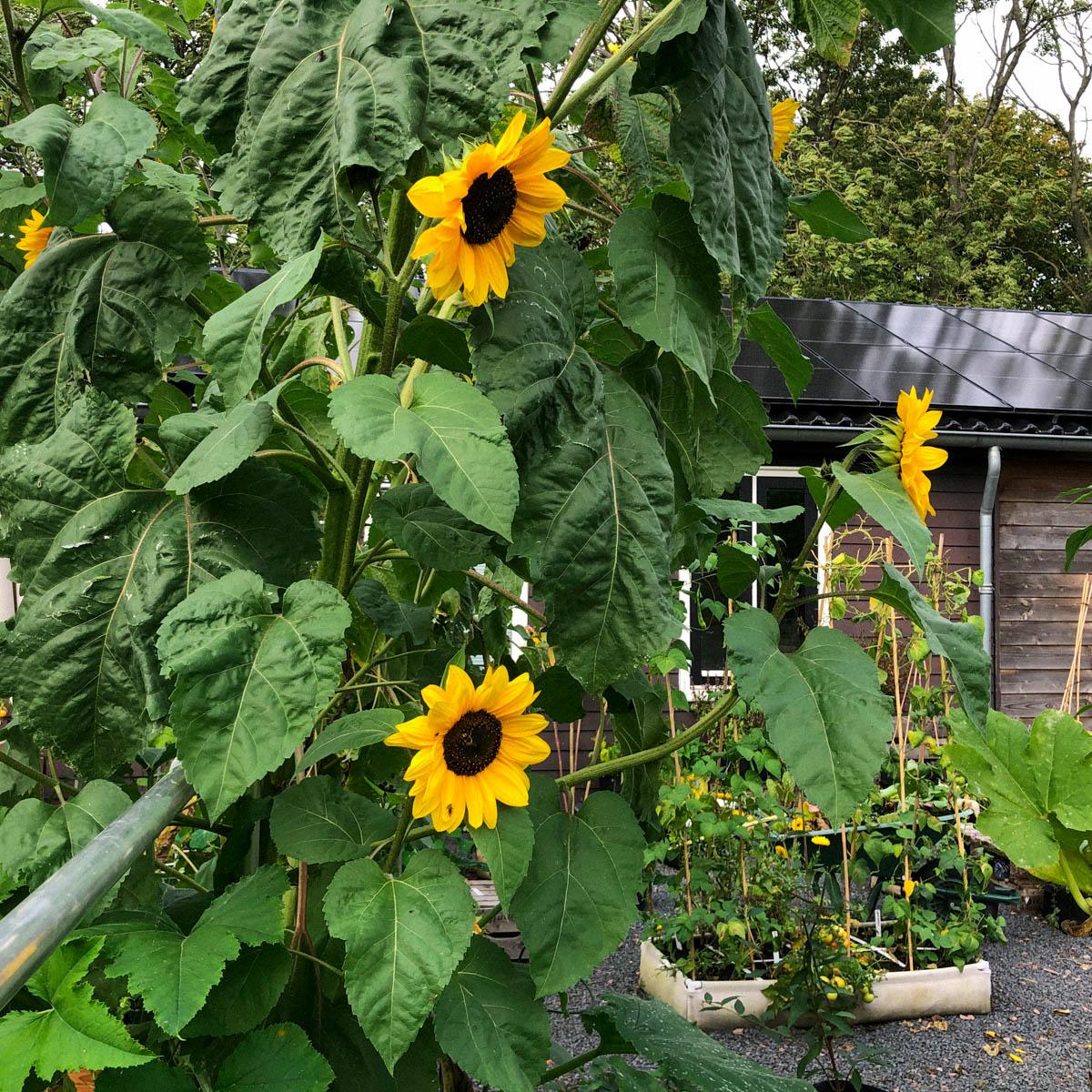 Zonnebloemen groeien super goed op de Makkelijke Moestuinmix