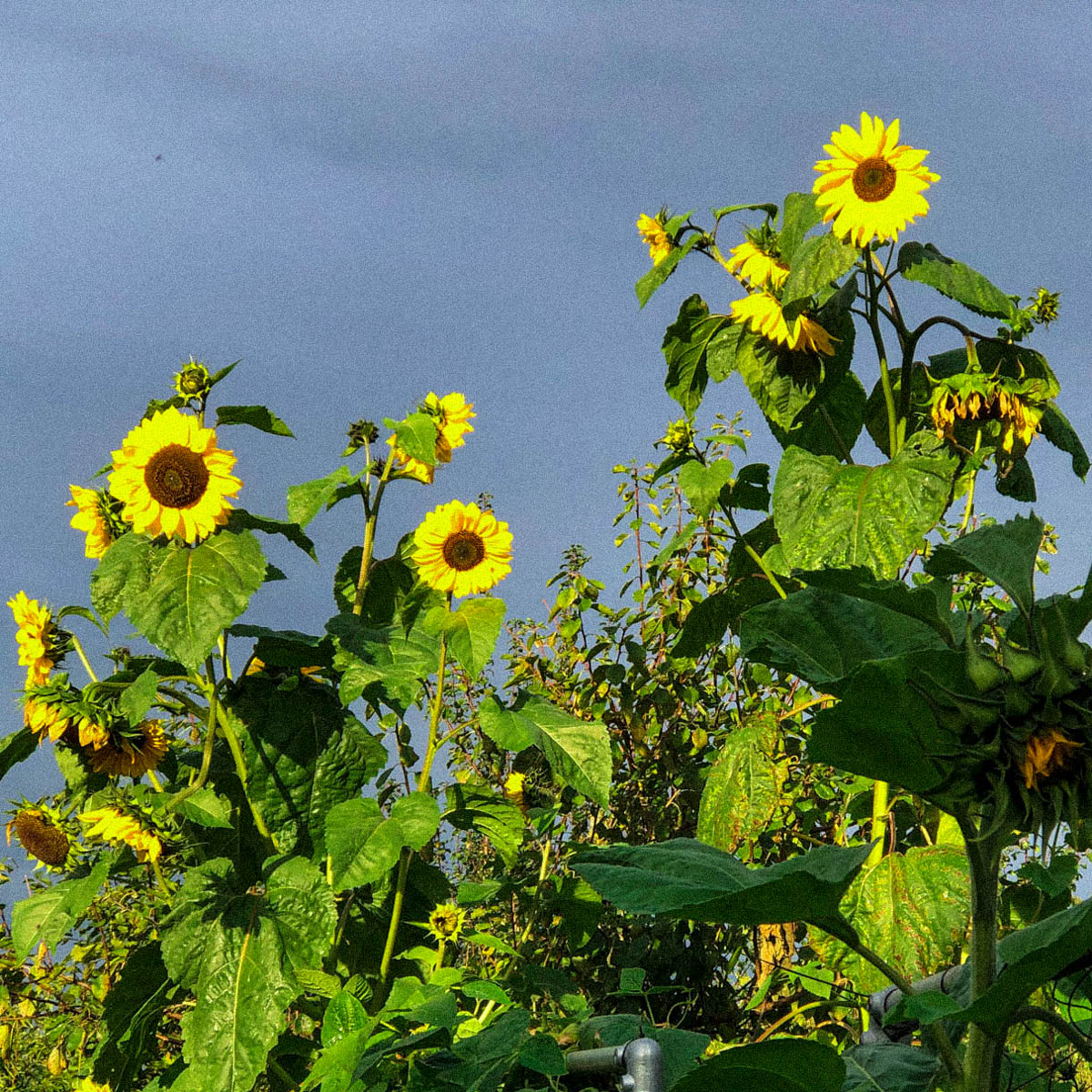 De Makkelijke Moestuin zonnebloem blijft bloeien tot ver in de herfst
