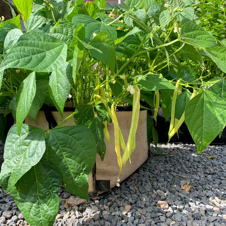 Boterboontjes in een Planty