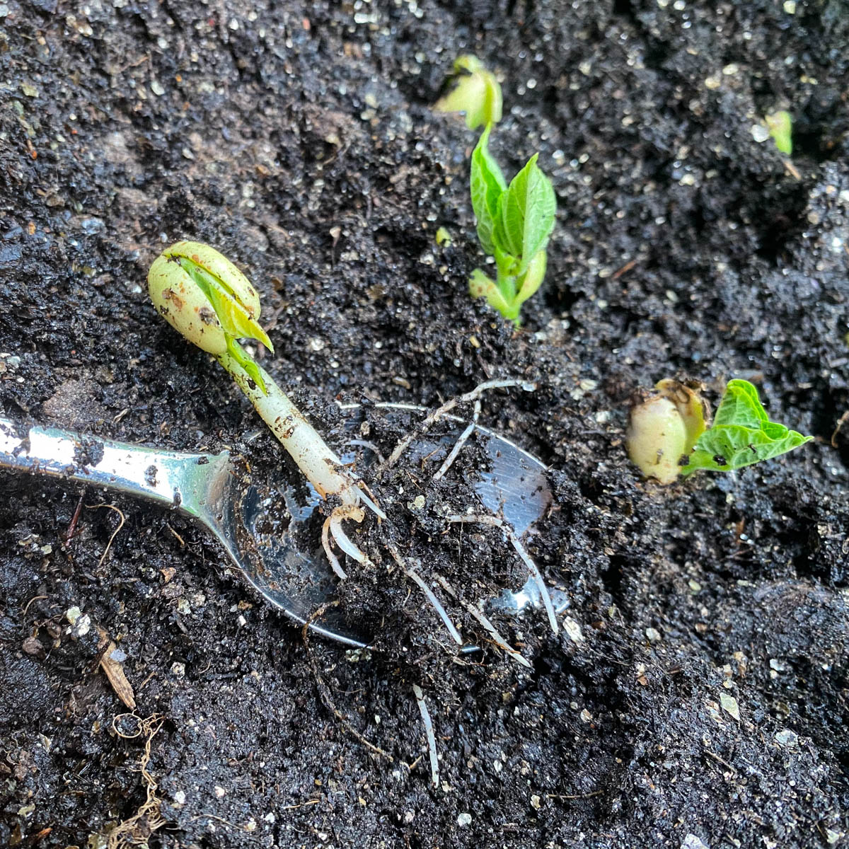 Voorgekiemde bonen planten in de Makkelijke Moestuin