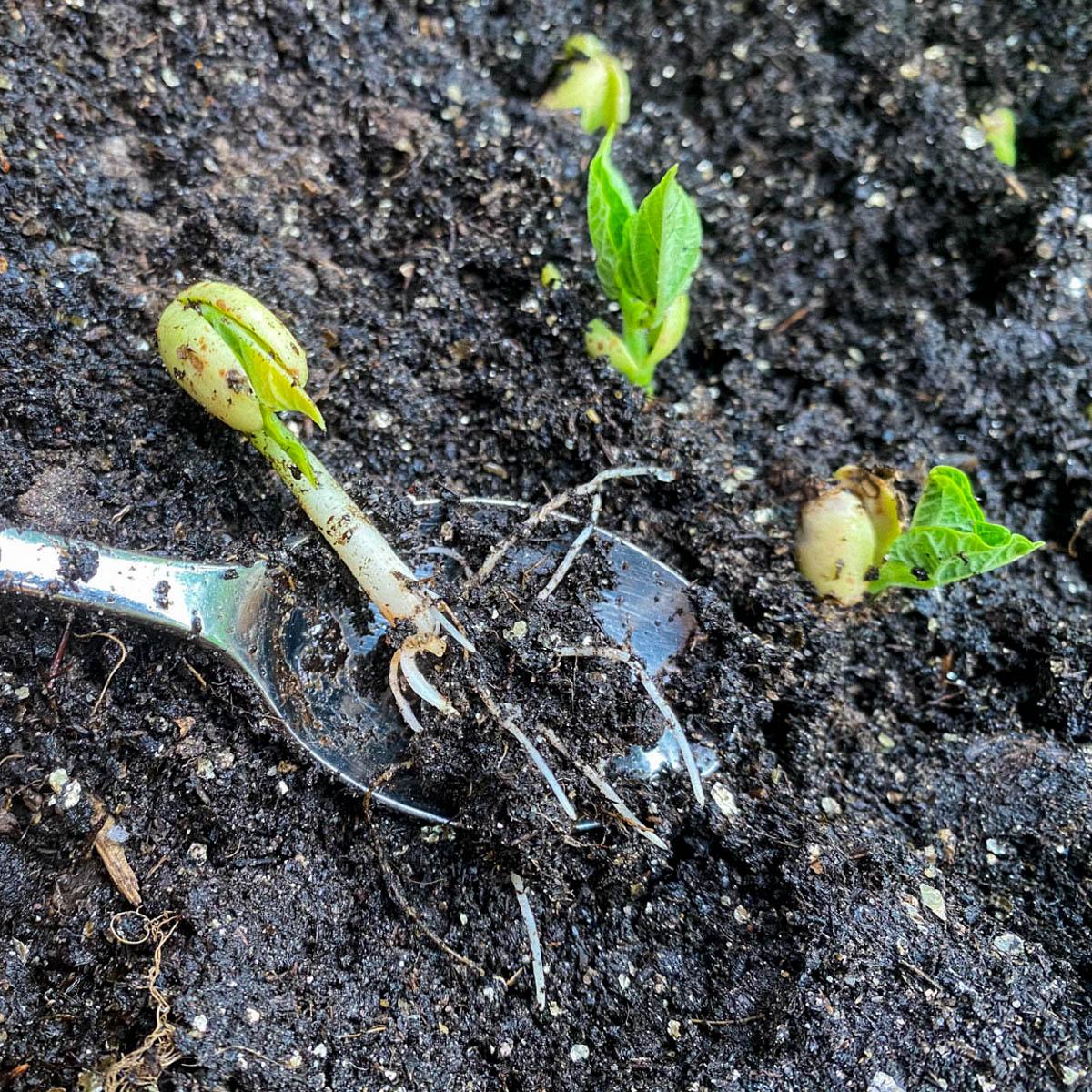 Plant de gekiemde snijbonen in je Makkelijke Moestuinbak bij het klimrek