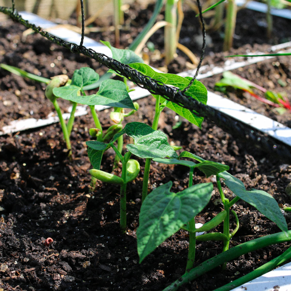 Kleine snijboonplantjes bij het klimrek in de Makkelijke Moestuin