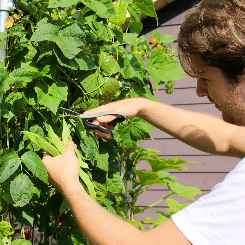Snijbonen oogsten in de Makkelijke Moestuin