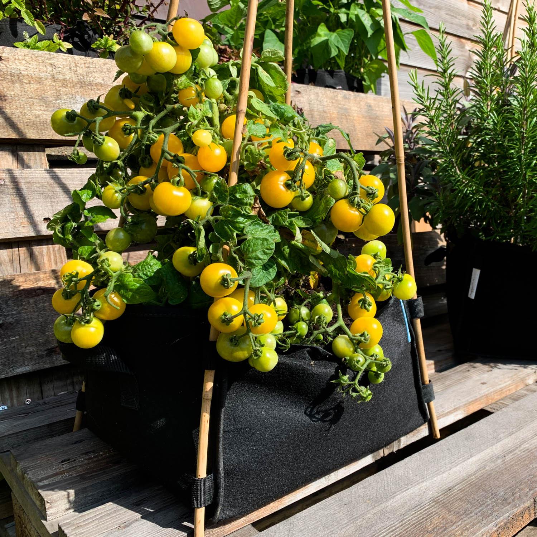 Gele struiktomaat in Mini Makkelijke Moestuin of Planty