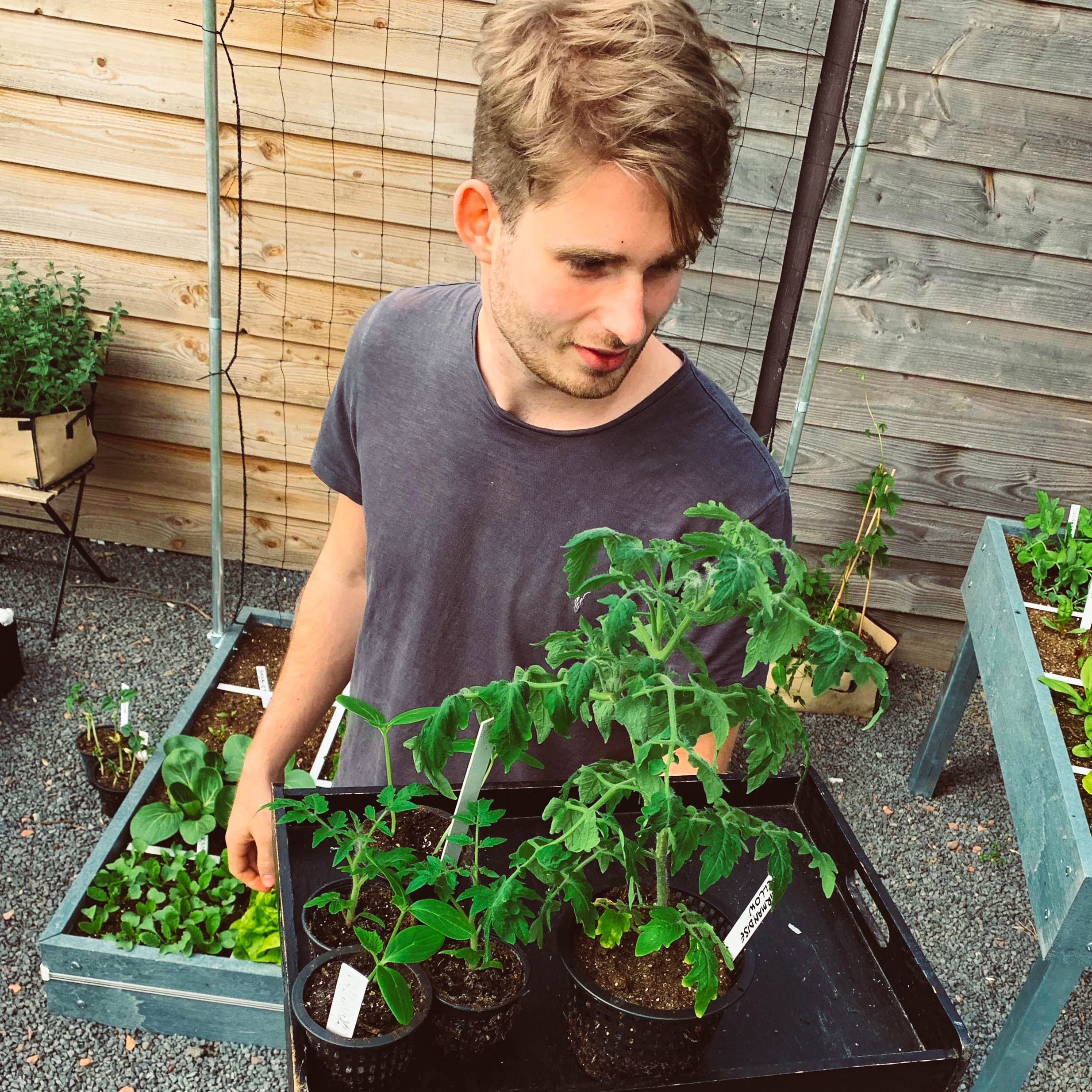 Afharden van voorgezaaide tomatenplantjes in de Makkelijke Moestuin