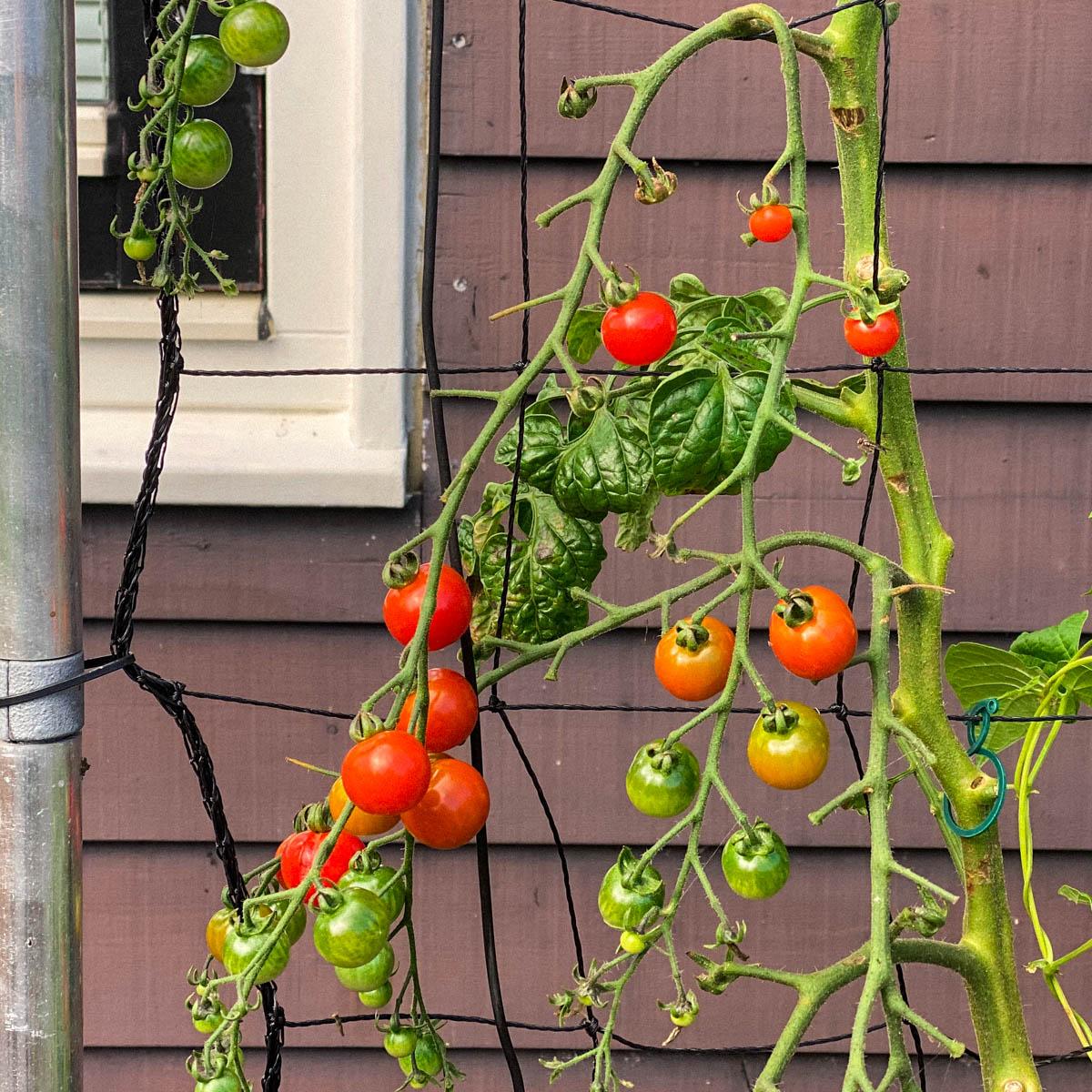 Knip rond september het meeste blad van tomatenplanten weg.