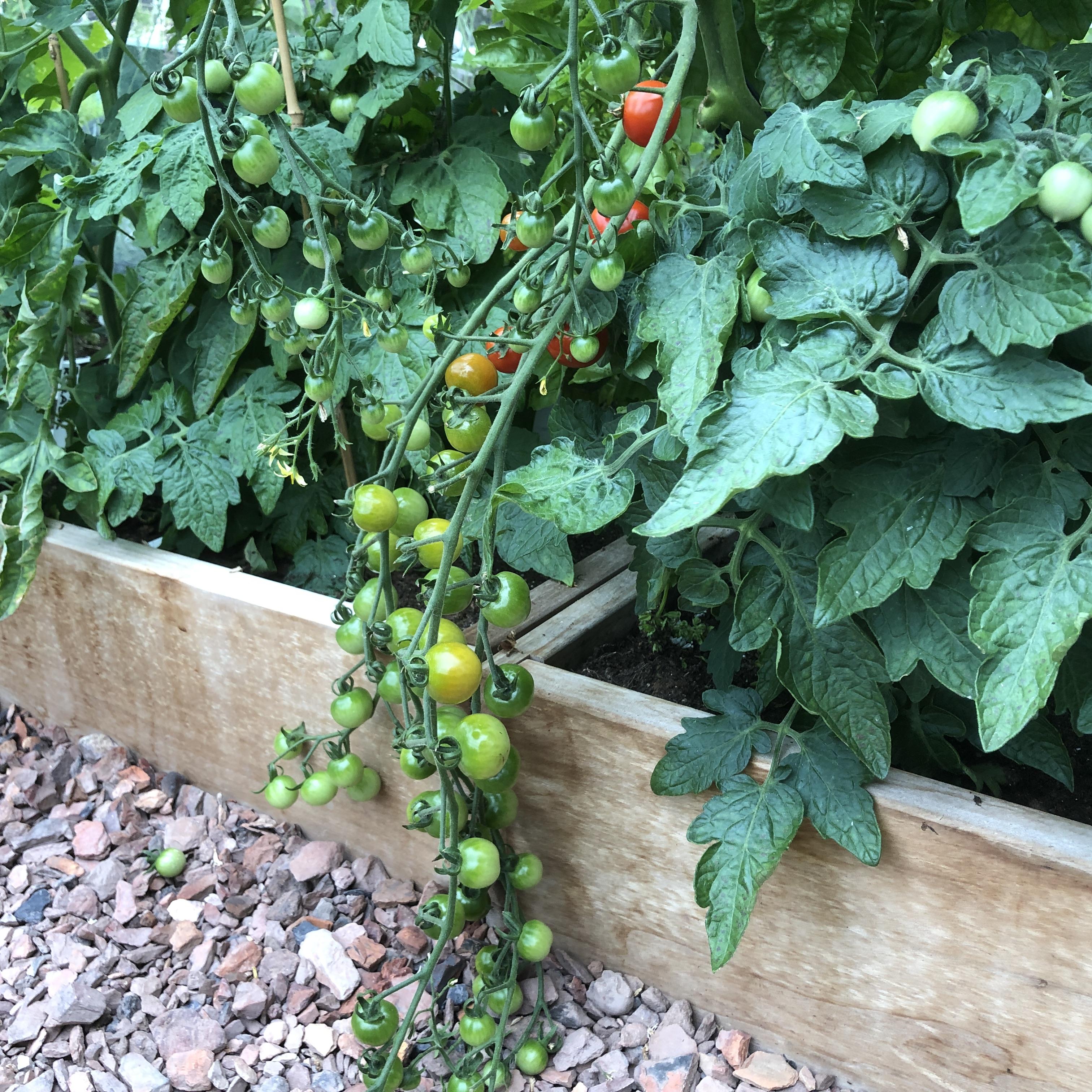 De kerstomaat van de Makkelijke Moestuin maakt extreem lange trossen tomaatjes