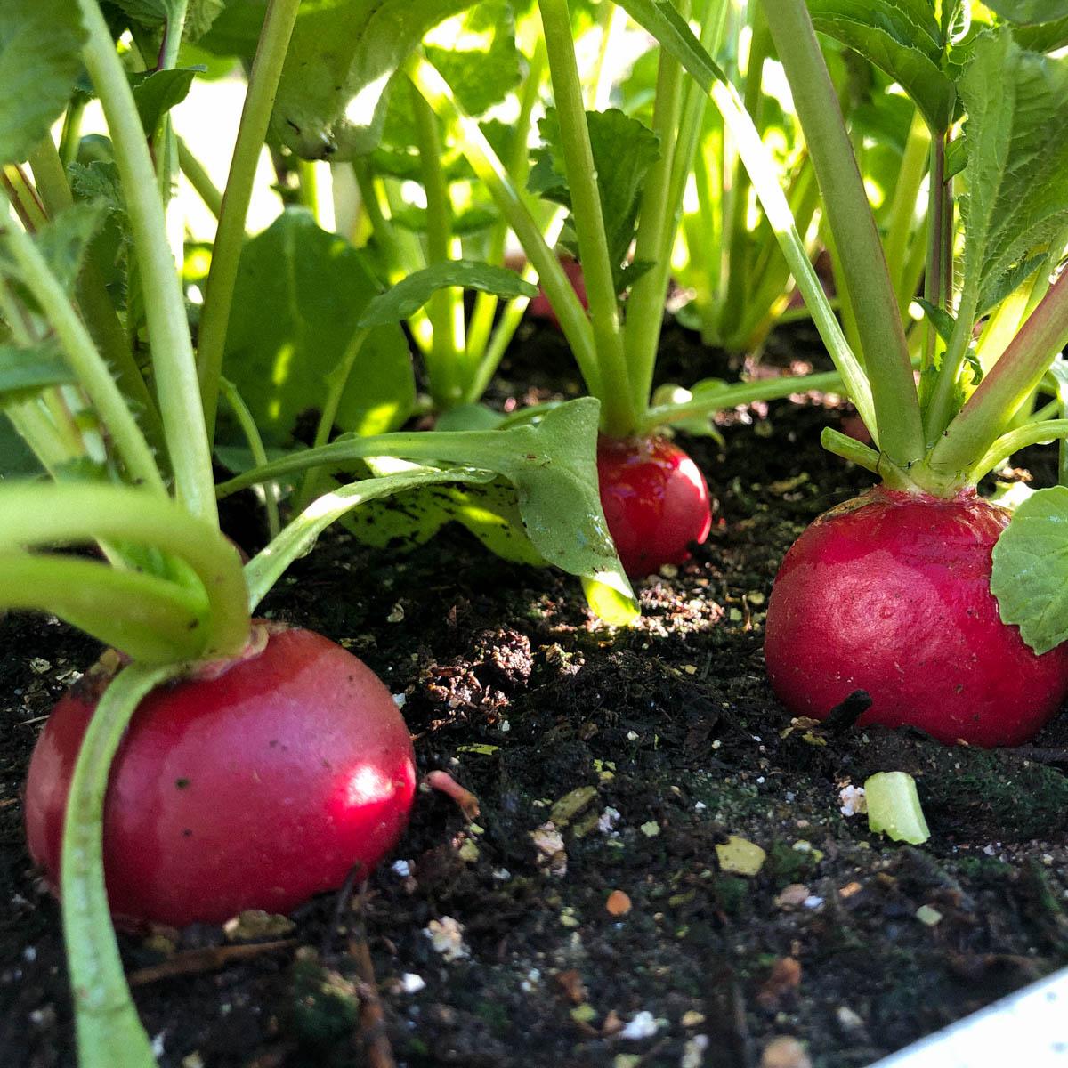 Mooie grote radijzen: klaar om te oogsten