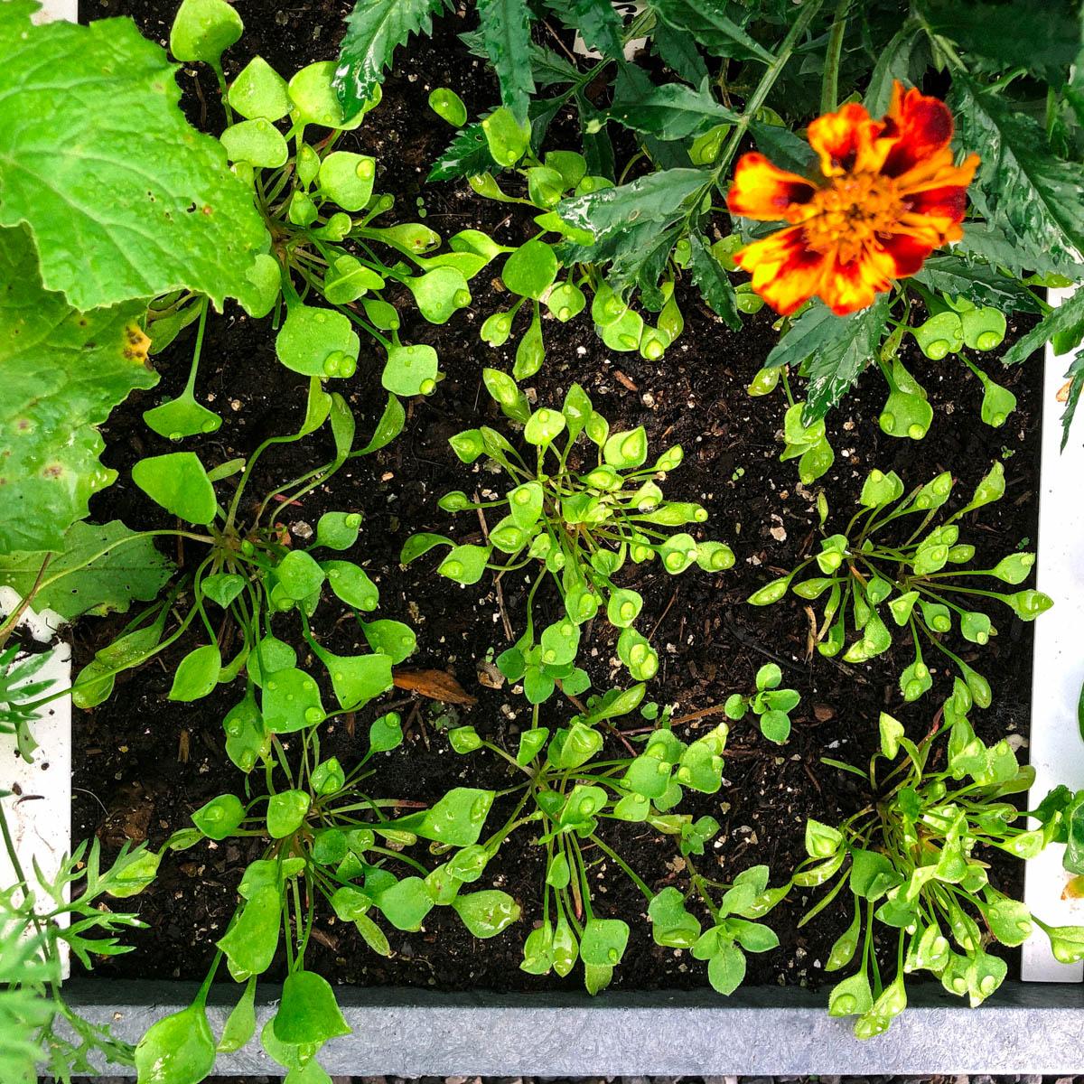 Kleine plantjes winterpostelein: uitdunnen hoeft niet