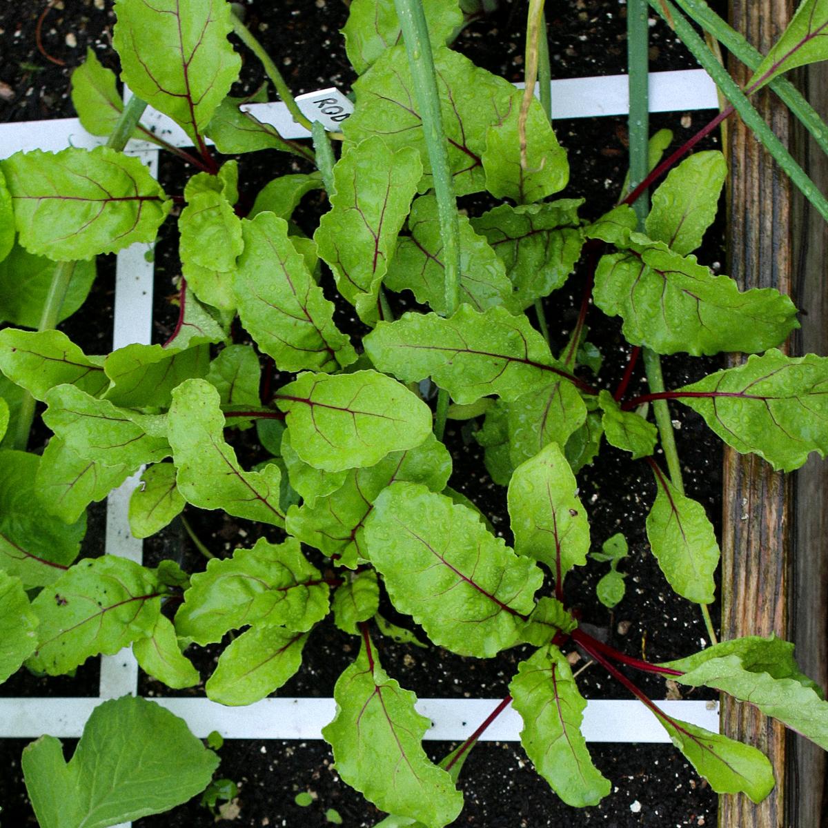 Bieten plantjes in de Makkelijke Moestuin