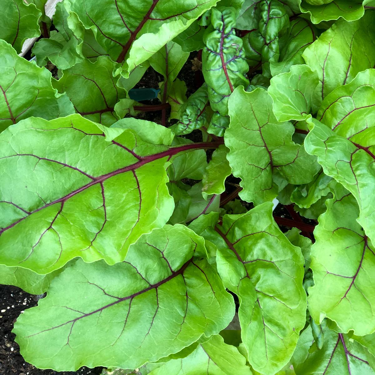 Het jonge blad van bieten is lekker in salades