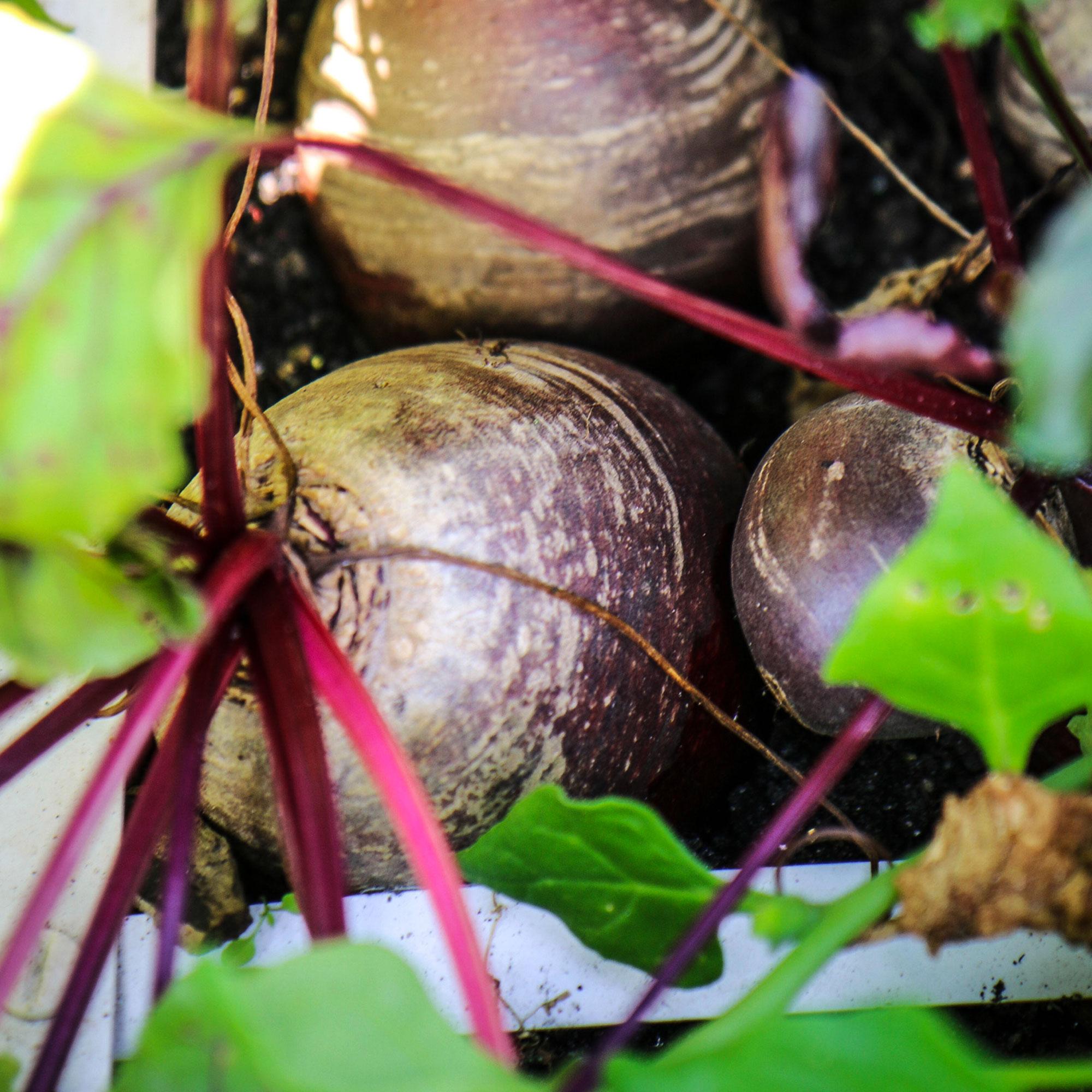 Volgroeide bieten kan je lang in de moestuinbak laten staan