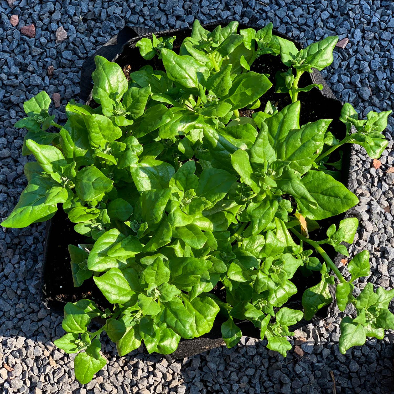 Nieuw-Zeelandse spinazie in een MM-mini of Planty