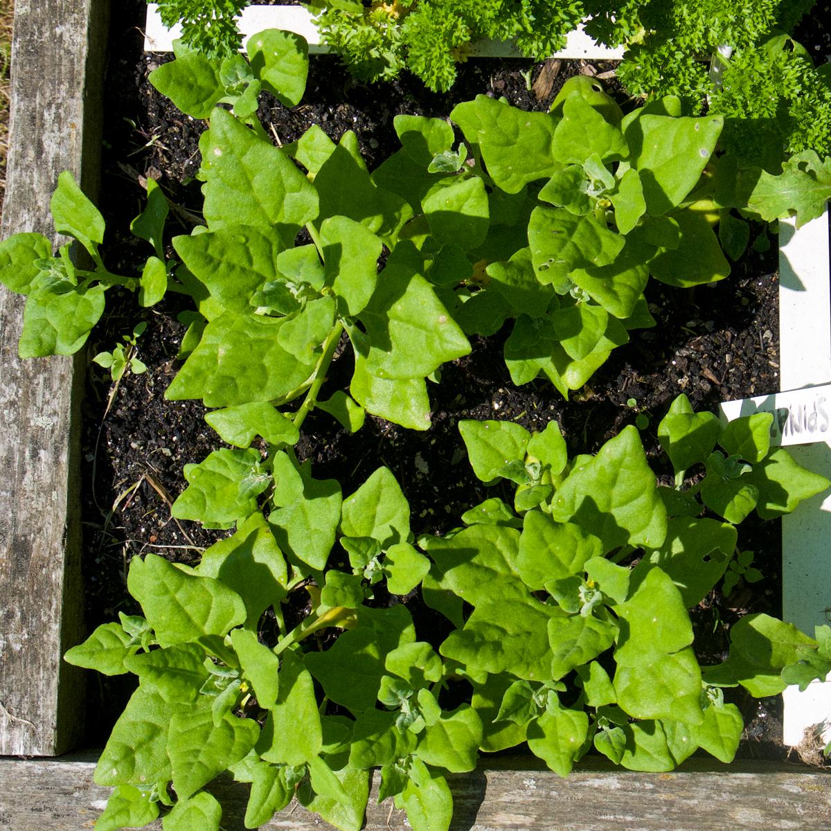 Medium Nieuw-Zeelandse spinazie plantjes in de Makkelijke Moestuin